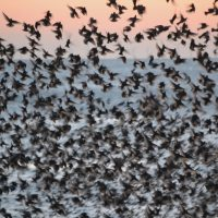 photograph of the inside of a murmuration of starlings with a background of pale sunset orange sky and steely grey sea