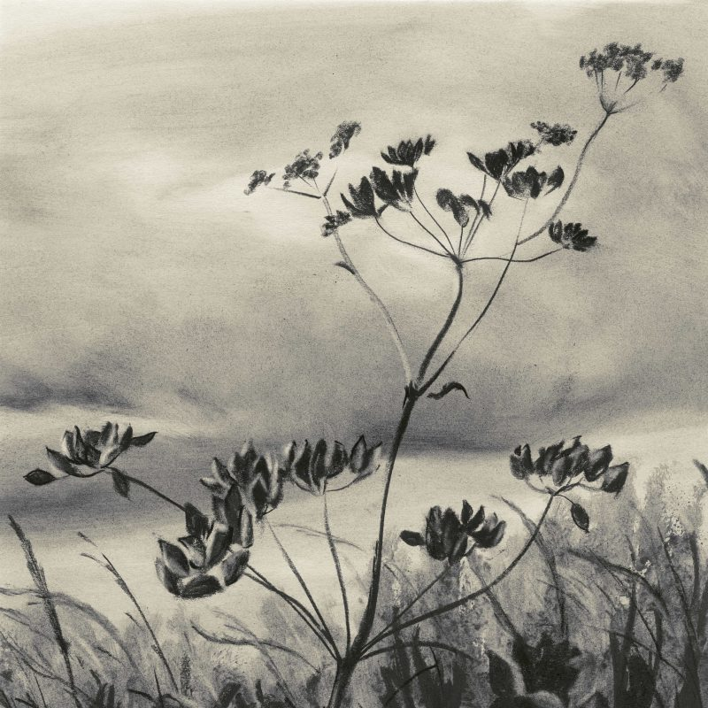 Charcoal drawing of Cow Parsley
