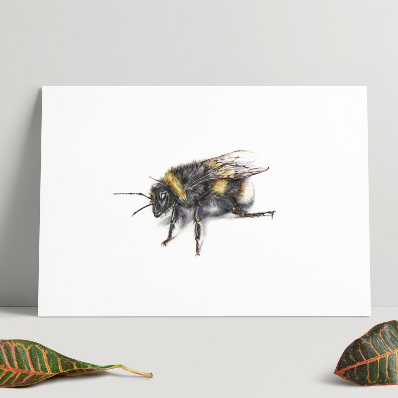 A detailed colour pencil illustration of a bumblebee on a white background.
