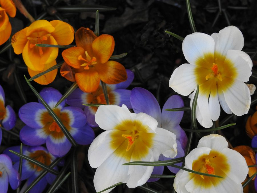 The image is a close up photograph of brightly coloured crocuses, white, yellow and purple.