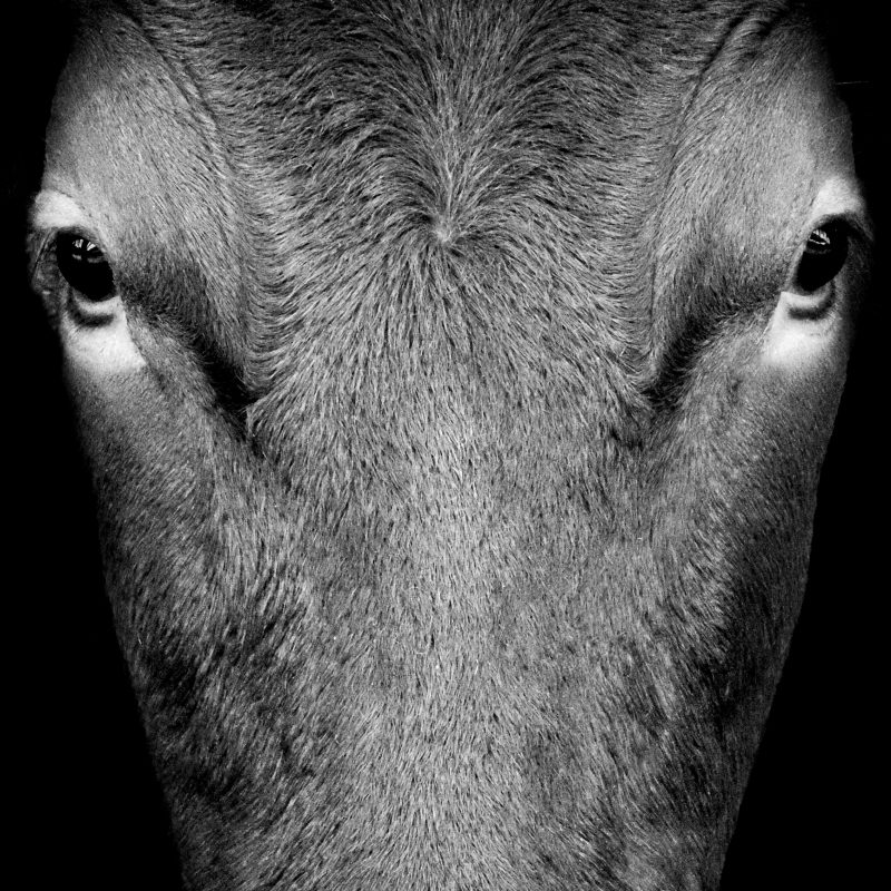 Black & White photograph of a cows head staring at the camera