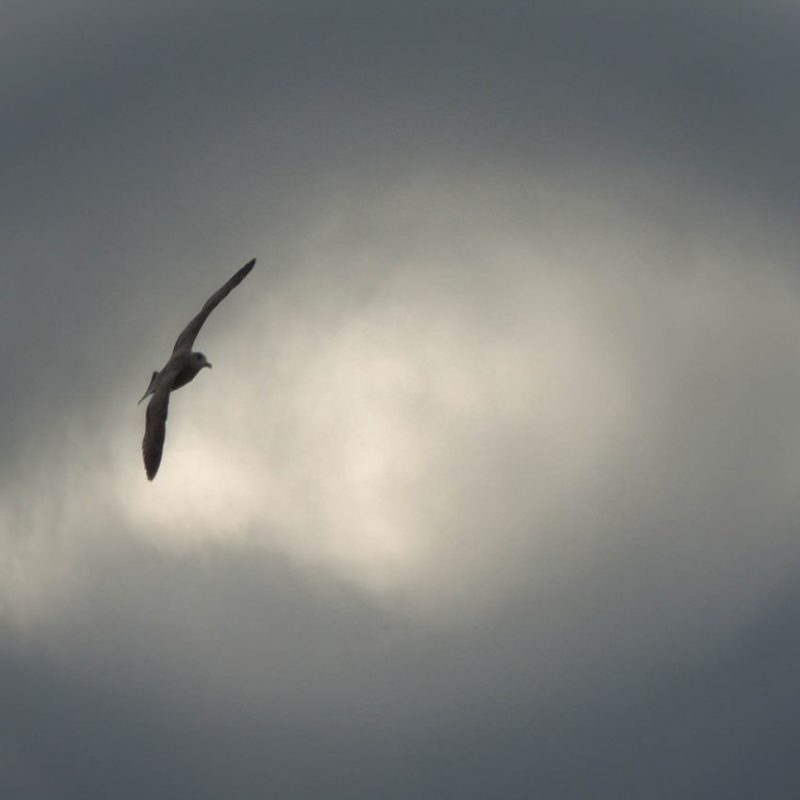 A seagull flies in the sky in front of dark clouds