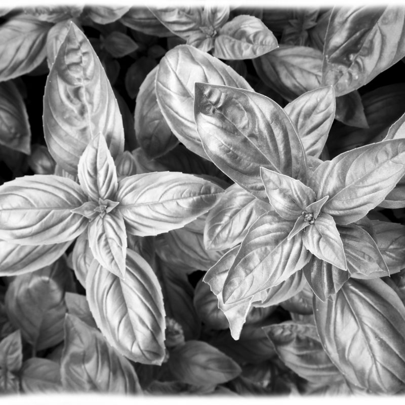 Black & White photograph of the herb basil