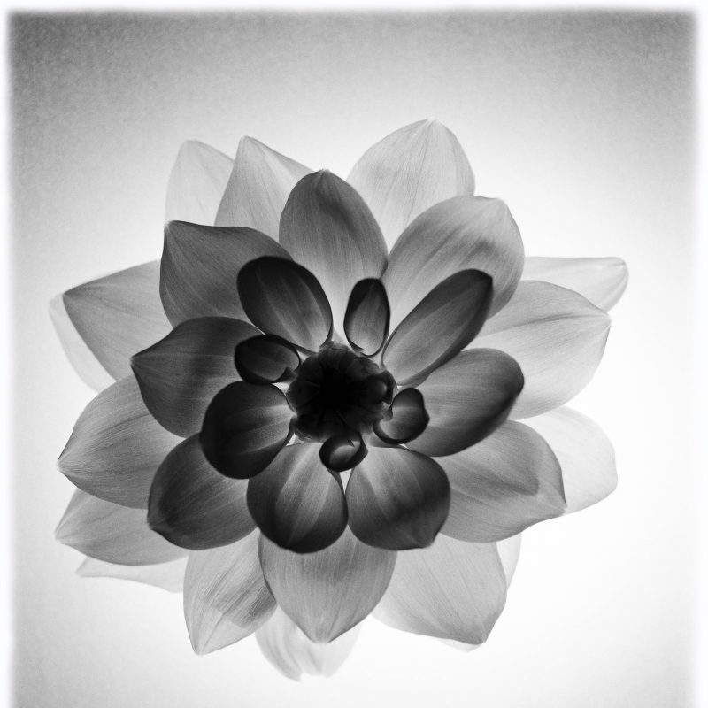 an opaque black and white flower on a white background