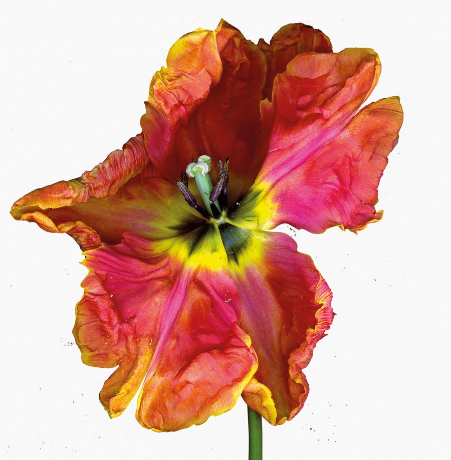 a dynamic image of a red and yellow Parrot Tulip almost exploding or in motion