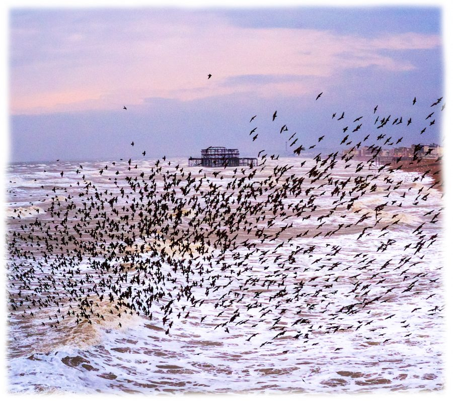 starlings murmuration at sunset with the west pier behind
