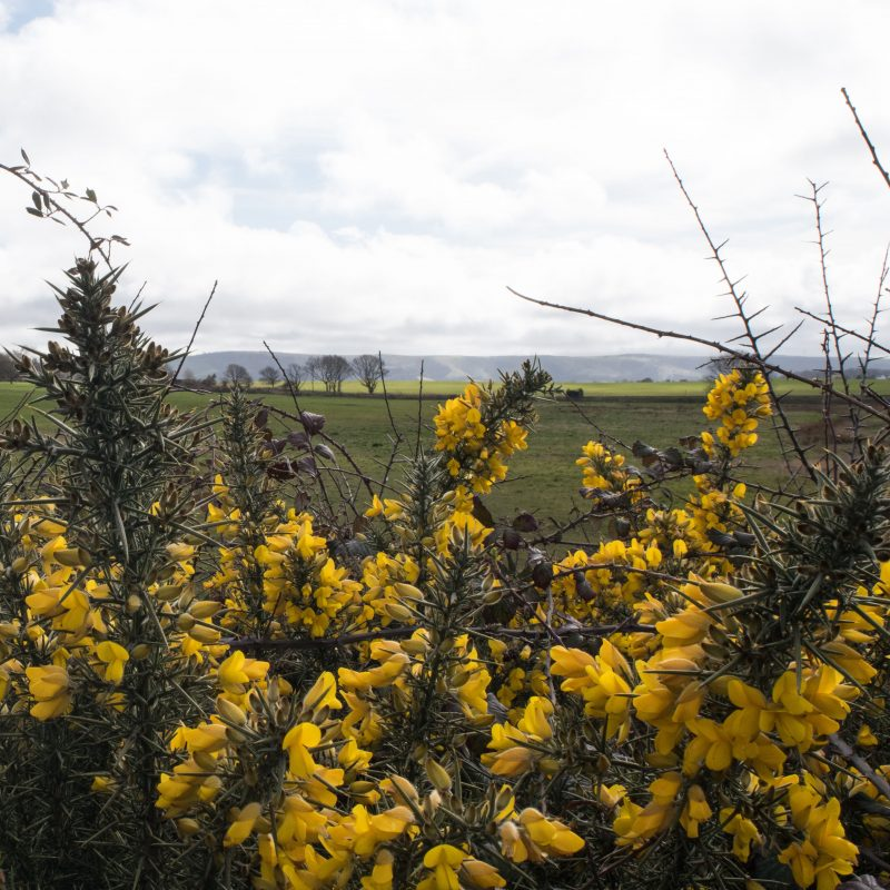 A photograph on canvas capturing the Downs through the bright yellow Gorse