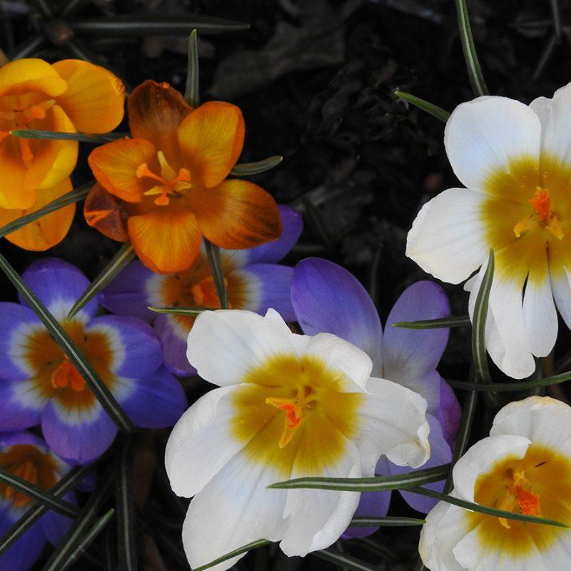 A close up image of white, purple and orange crocuses